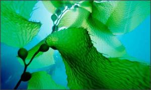 Морская капуста — чем полезна?